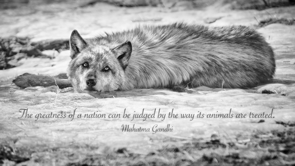 """The greatness of a nation can be jugged by the way it's animals are treated.."" Mahatma Ghandi"